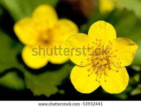 closeup of buttercups - stock photo