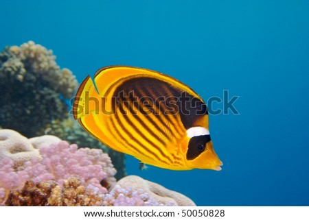 Closeup of Butterfly fish - Chaetodon austriacus - Underwater shot, Red Sea, Sinai, Egypt - stock photo