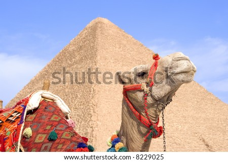 Closeup of camel with Great Pyramid of Giza blurred in the background.  Near Cairo, Egypt. - stock photo
