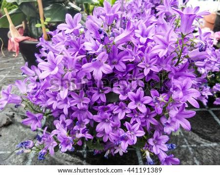 Closeup of Campanula plants purple flowering in the garden - stock photo