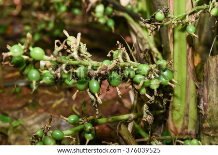 Closeup of Cardamom plant in tropical plantation/ garden, in Wayanad, Kerala, India. Green and unripe cardamom pods in plant. It is the third most expensive spice by weight. - stock photo