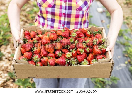 Closeup of cardboard box full with fresh red strawberries in hands of a woman on a strawberry field - stock photo