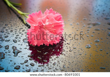 closeup of carnation flower with water drops
