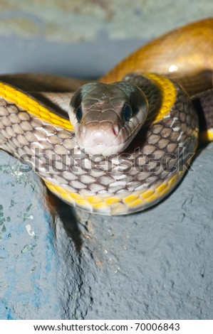 Closeup of Cave Dwelling Snake, Thailand. - stock photo