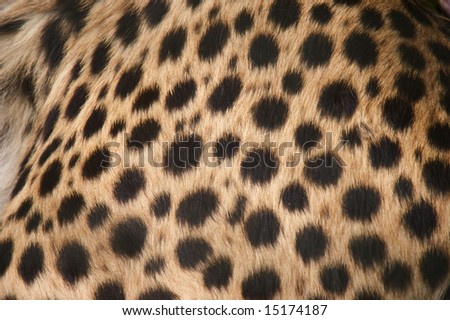 Closeup of Cheetah (Acinonyx jubatus)