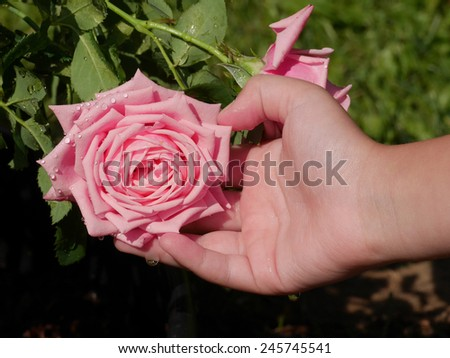 closeup of child's hands holding delicate pink rose in garden - stock photo