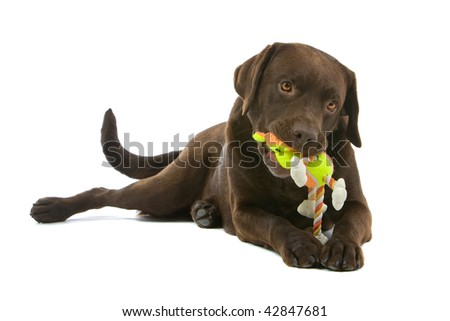 Closeup of chocolate Labrador toy chewing rope toy, isolated on white background. - stock photo