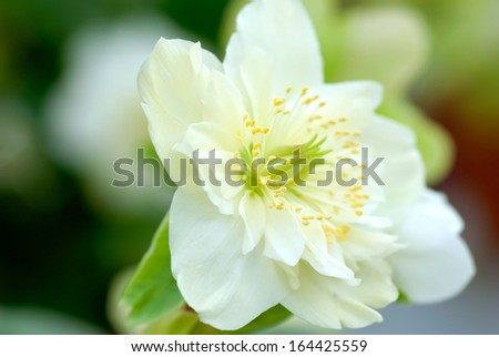 Closeup of Christmas rose plant with white flower.