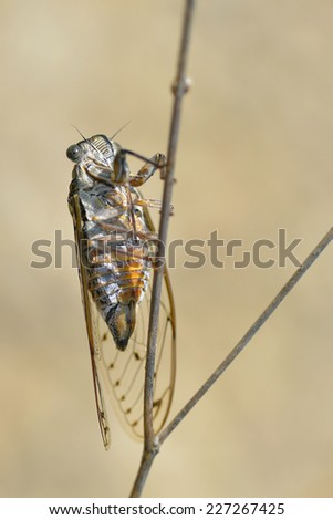 Closeup of Cicada orni on stem in the south of France and  viewed from underneath - stock photo