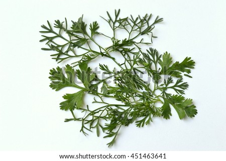 Closeup of Cilantro.  It is also known as coriander or Chinese parsley and is an annual herb in the family Apiaceae.