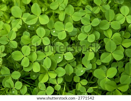Closeup of clover - stock photo
