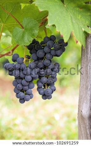 Closeup of clusters of ripe blue grapes on a vineyard - stock photo