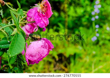 closeup of cockchafer sitting on a pink flower rose with raindrops in nature - stock photo