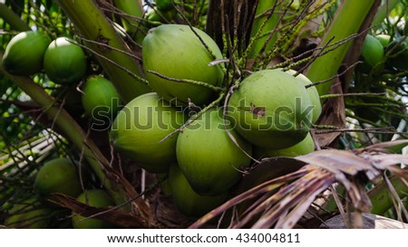Closeup of Coconuts on the coconut tree. - stock photo