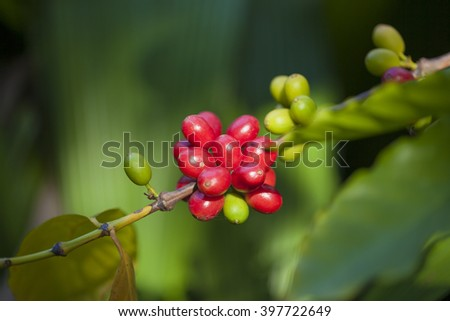 closeup of coffee berries growing on branches - stock photo