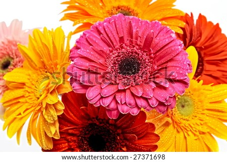 closeup of colorful gerberas with water drops