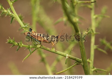 Closeup of colorful grasshopper on desert summertime green tumbleweed plant/Spur-throated Grasshopper on Green Tumbleweed/Macro of small grasshopper with orange, blue, yellow and black colors   - stock photo