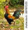 Closeup of colorful rooster patrolling his yard defending his territory, on a sunny day. - stock photo