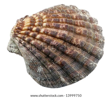 Closeup of colorful seashell against white background. - stock photo