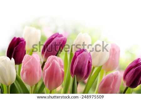 Closeup of colorful tulips - stock photo