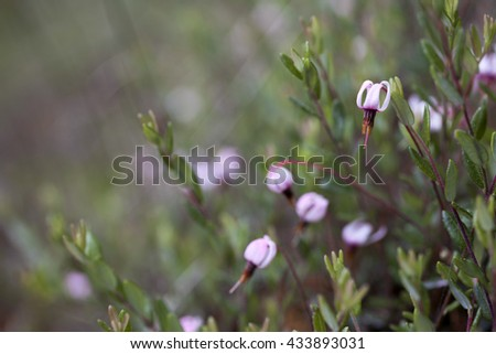 Closeup of common cranberry (vaccinium oxycoccus) flower. Photographed in wetland area in Estonia, Europe. - stock photo
