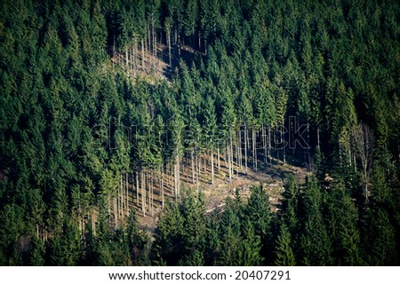 Closeup of conifer forest with empty areas of cut trees - stock photo