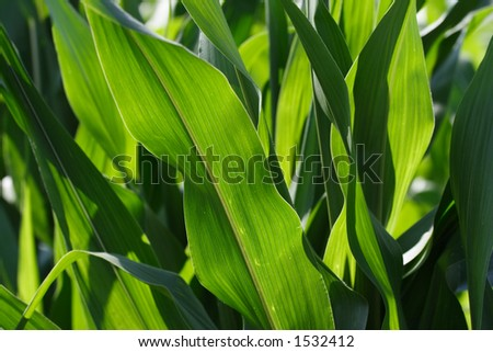 Closeup of Corn Leaves - stock photo