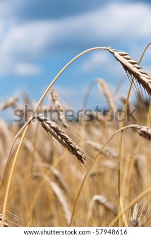 Closeup of cornfield - single crop heads in front of larger field - stock photo