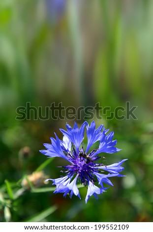 Closeup of cornflower - stock photo