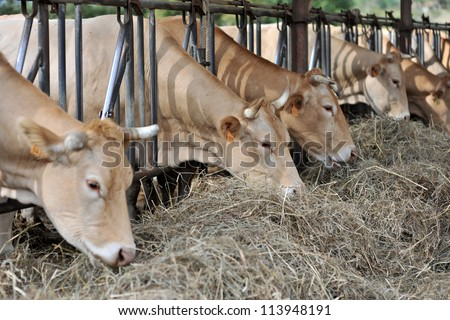 Closeup of cows in barn eating hay