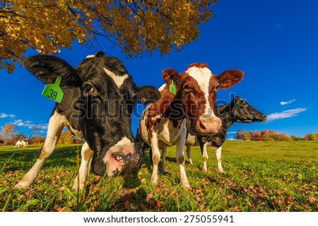 Closeup of cows looking at the camera, Stowe, Vermont, USA - stock photo