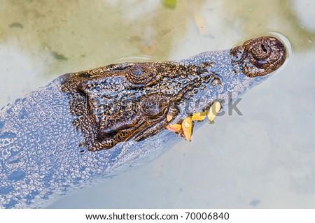 Closeup of crocodile head in the water, Thailand. - stock photo
