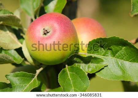 Closeup of Crown Prince Rudolf (Kronprinz Rudolf) apple tree with fruit in Austria, Europe. It is the oldest Styrian variety - stock photo