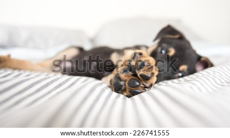 Closeup of Cute Doberman Mix Puppy's Foot Pads  on Striped White and Gray Sheets  - stock photo