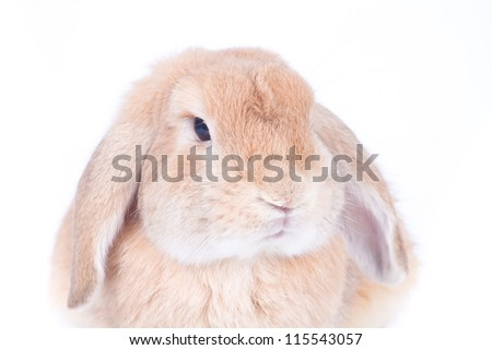 Closeup of  cute holland lop rabbit  on  white background