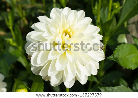 Closeup of   dahlia flower yellow - stock photo