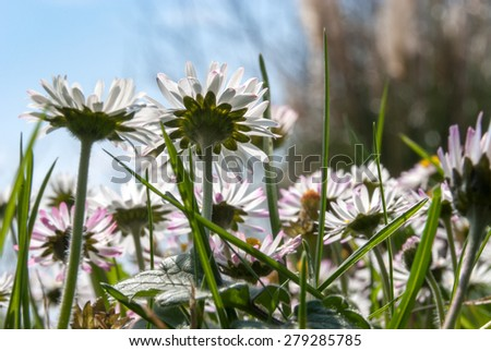 closeup of daisies in a meadow - stock photo