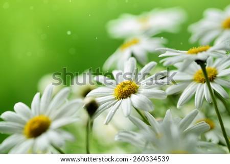 Closeup of daisy flower - stock photo