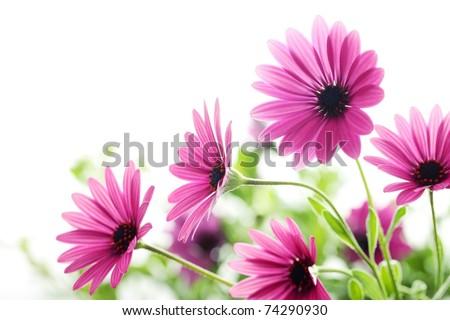 Closeup of daisy flower,Shallow Dof. - stock photo