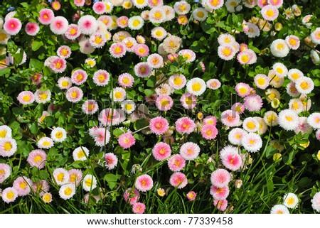 Closeup of daisy in garden . Bellis perennis . rob roy . flowers . - stock photo