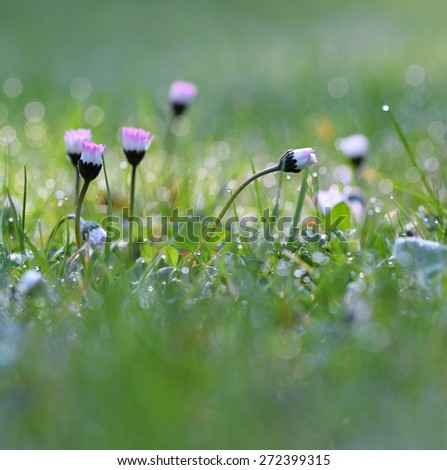 Closeup of daisy in garden . Bellis perennis .  Thread of flowers in the morning dewy grass