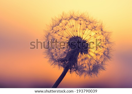 Closeup of dandelion against sunset - stock photo