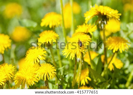 Closeup of Dandelion Flower at Blossom in Spring - stock photo