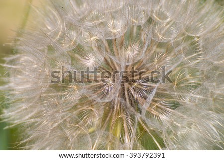 Closeup of Dandelion Ripe Fruits creates a delicate Pattern - stock photo