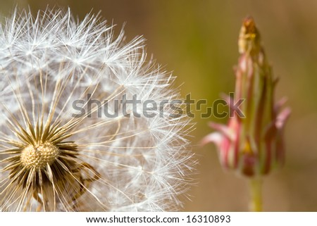 Closeup of Dandelion Seed Head with Bud in Background - stock photo
