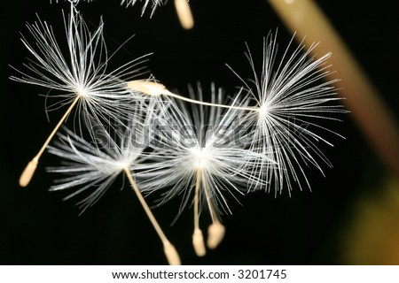 Closeup of dandelion seeds - stock photo