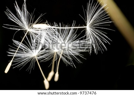 Closeup of dandelion seeds floating - stock photo