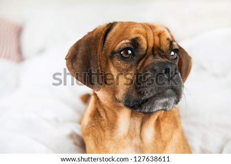Closeup of Dark Fawn Puggle Dog Laying on Owners Bed