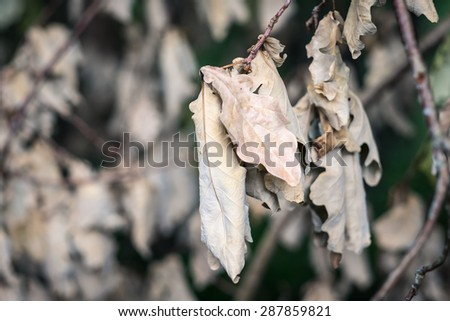Closeup of dead dry leaves on the branch