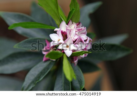 Closeup of delicate pink and white Daphne flowers